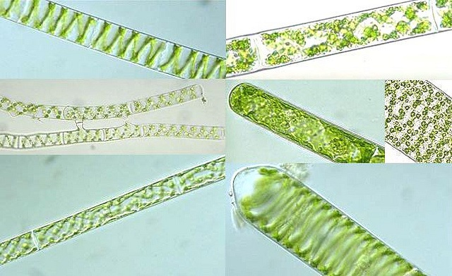 Difference Between Blue Green Algae and Green Algae