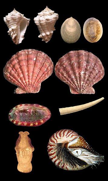 Key Difference - Mollusca vs Echinodermata
