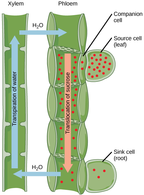 Difference Between Sieve Tubes and Companion Cells