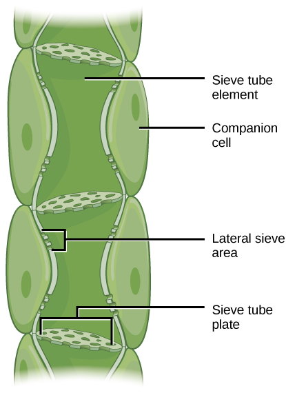 Key Difference - Sieve Tubes vs Companion Cells