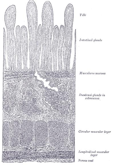 Key Difference - Villi vs Alveoli