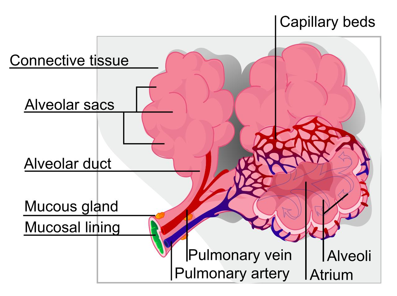 Difference Between Villi and Alveoli