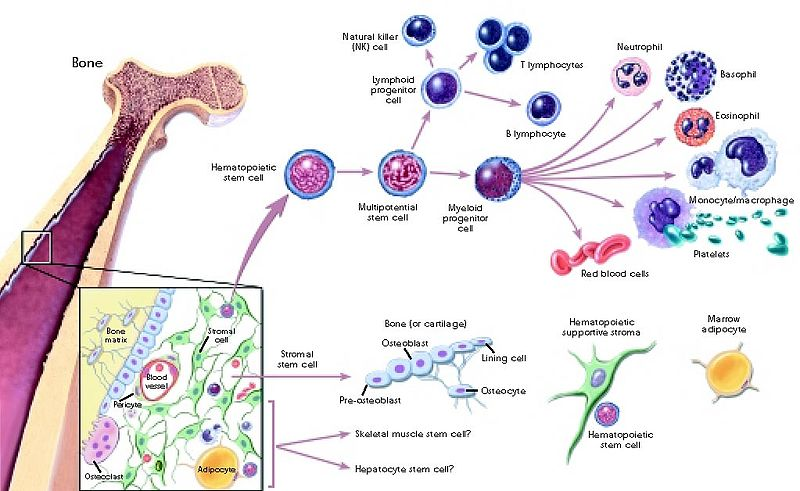 Main Difference - Cell Proliferation vs Differentiation