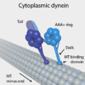 Difference Between Dynein and Kinesin