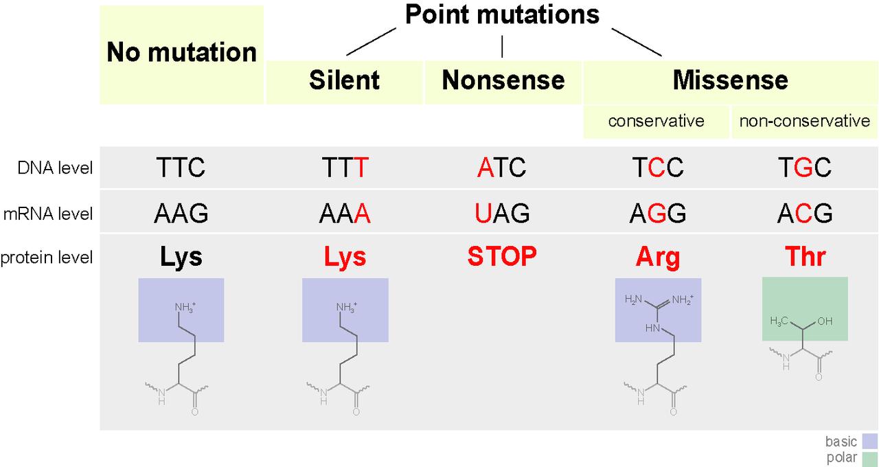 Point Mutation vs Chromosomal Mutation