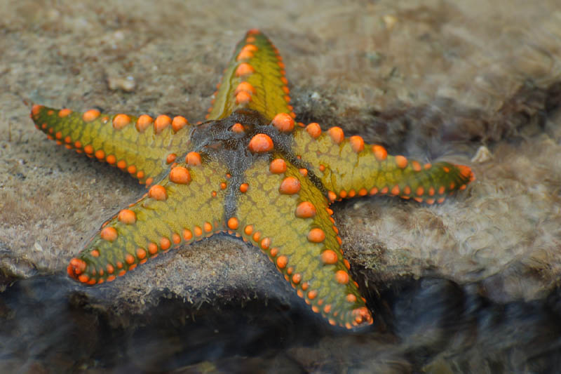 Difference Between Starfish and Brittle Star