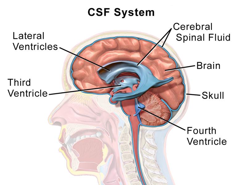 Key Difference - Blood Brain Barrier vs Blood CSF Barrier