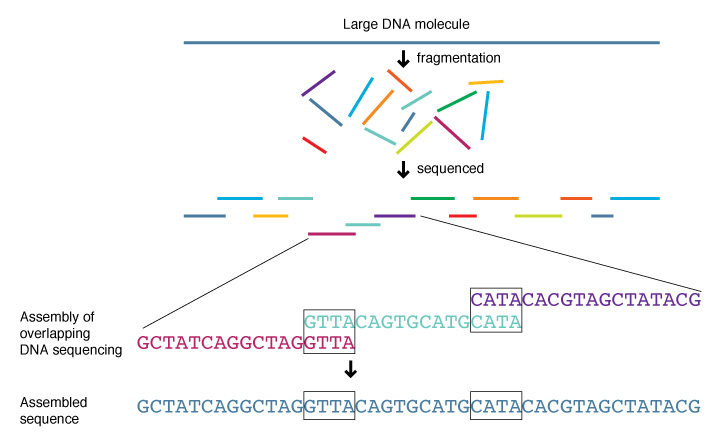 Difference Between Clone by Clone Sequencing and Shotgun Sequencing