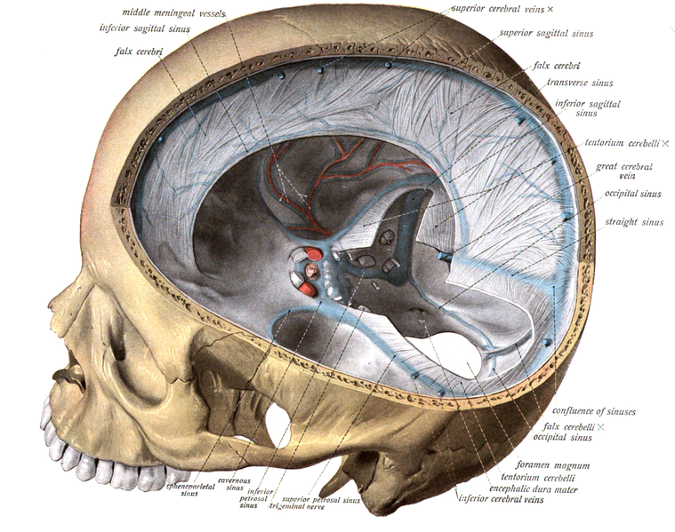 Difference Between Dura Mater of Brain and Spinal Cord