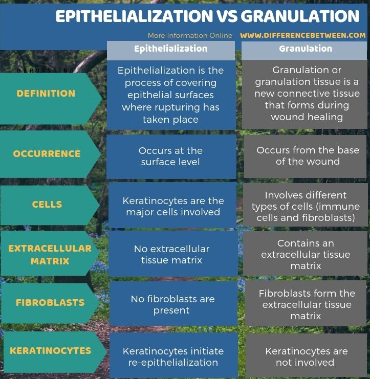 Difference Between Epithelialization and Granulation in Tabular Form