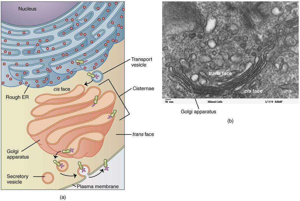 Key Difference - Golgi Bodies vs Dictyosomes