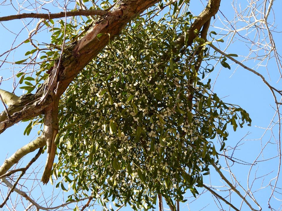 Key Difference - Holly vs Mistletoe