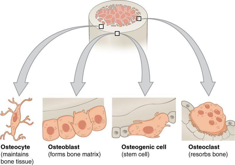 Osteoblasts vs Osteocytes