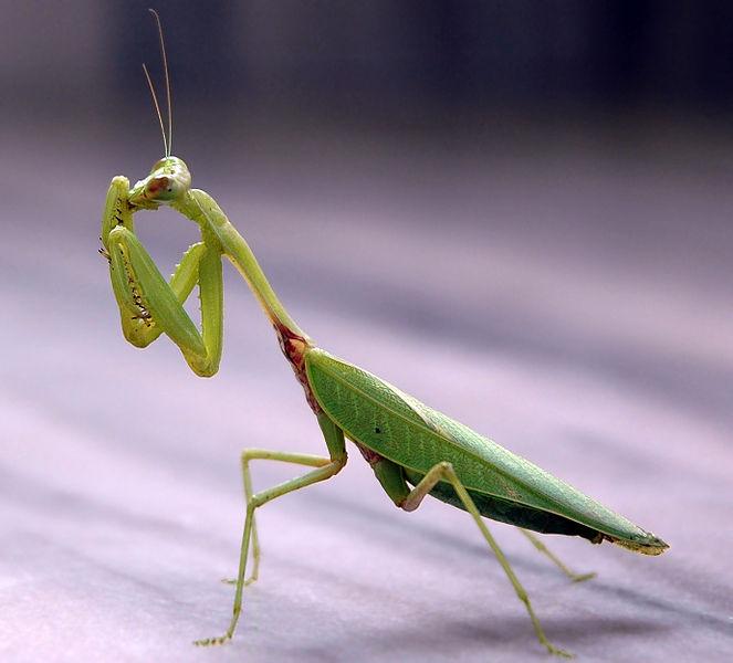 Difference Between Praying Mantis and Walking Stick