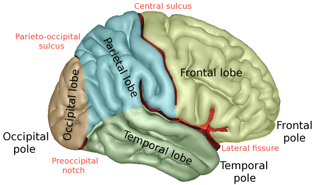 Difference Between Sulcus and Fissure