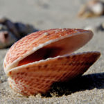 Difference Between Brachiopod and Bivalve