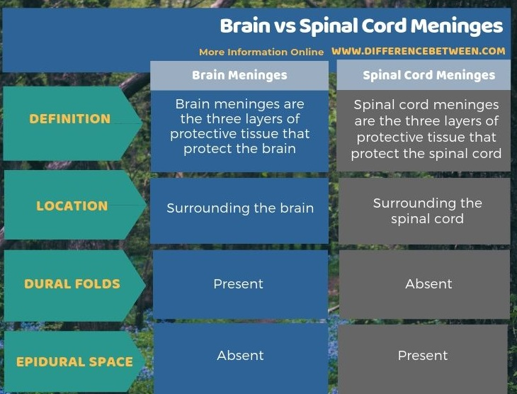 Difference Between Brain and Spinal Cord Meninges in Tabular Form
