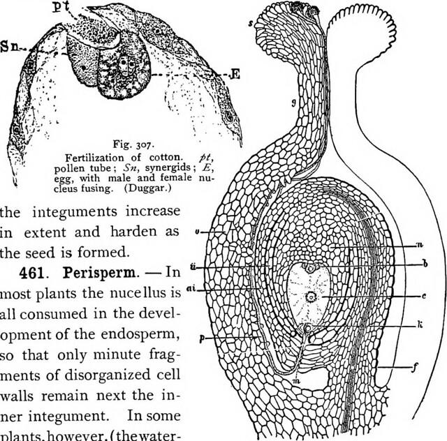 Key Difference - Endosperm vs Perisperm