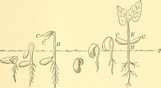 Key Difference - Epicotyl vs Plumule