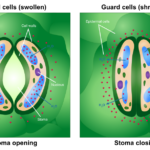 Difference Between Guard Cells and Subsidiary Cells