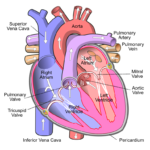 Difference Between Right and Left Atrium