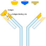 Difference Between Antiserum and Antibody
