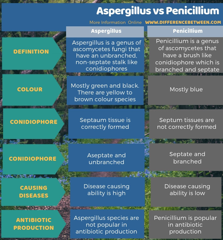 Difference Between Aspergillus and Penicillium in Tabular Form