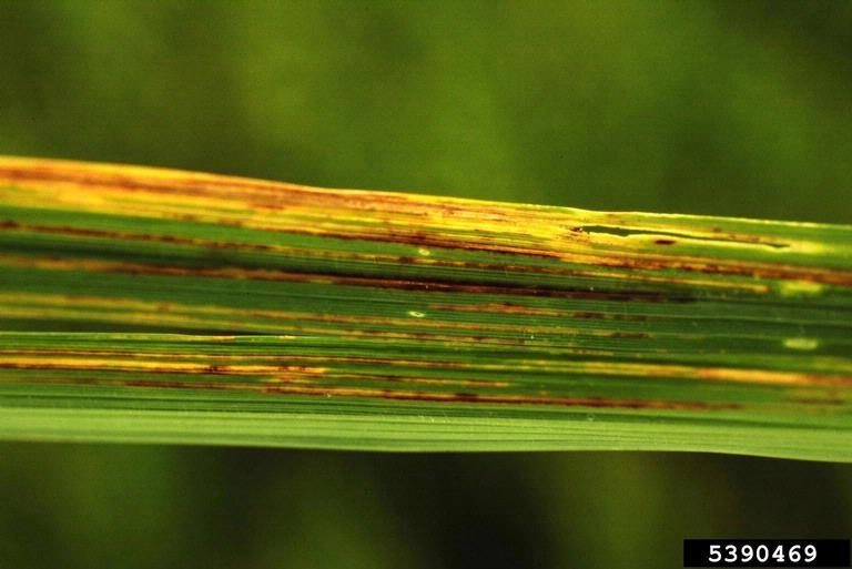 Key Difference - Bacterial Leaf Blight vs Bacterial Leaf Streak