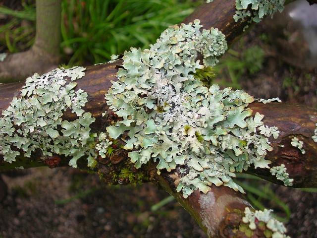 Key Difference - Lichen vs Mycorrhizae