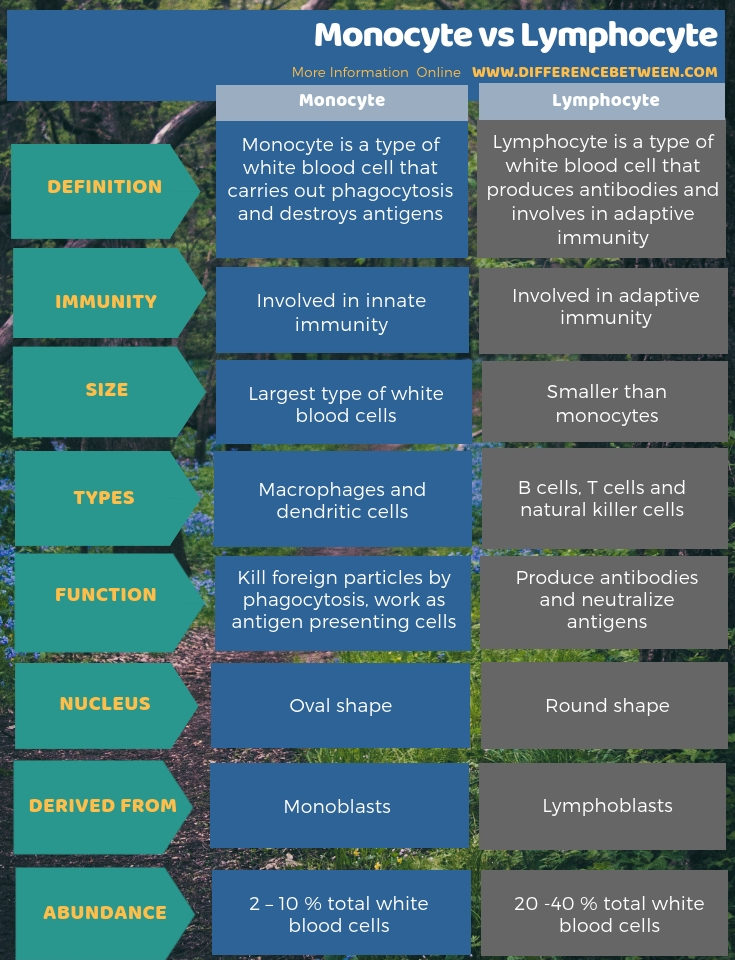 Difference Between Monocyte and Lymphocyte in Tabular Form