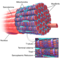 Difference Between Myofibrils and Sarcomeres