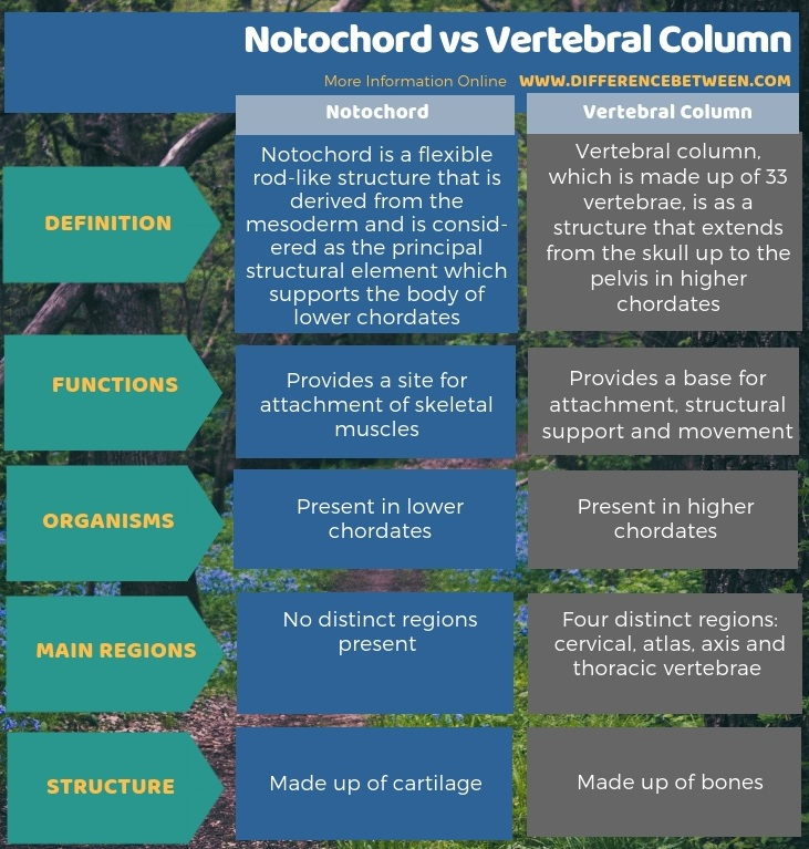 Difference Between Notochord and Vertebral Column in Tabular Form