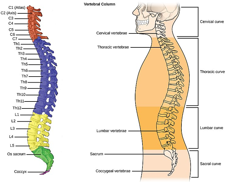 Difference Between Notochord and Vertebral Column