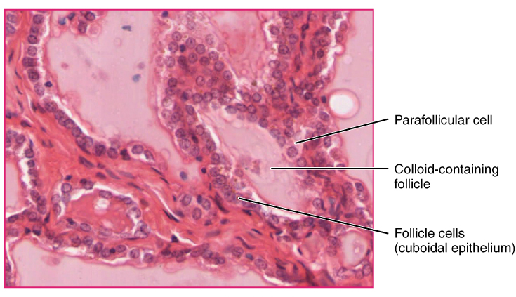 Key Difference - Parafollicular vs Follicular Cells