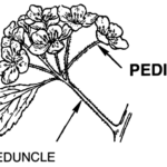 Difference Between Pedicel and Peduncle