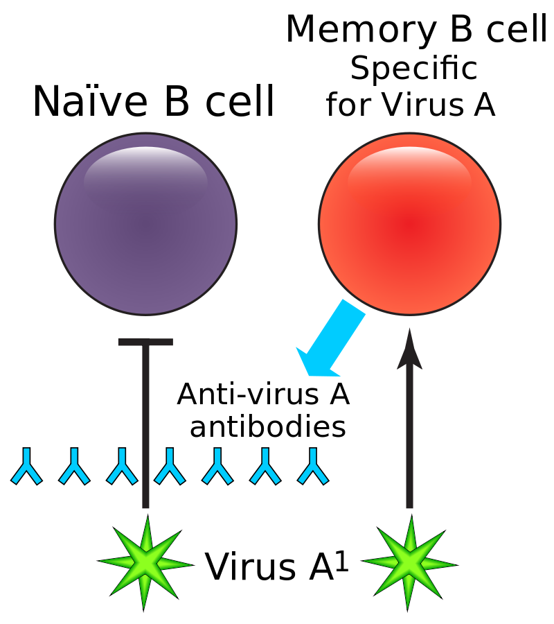 Difference Between Plasma Cells and Memory Cells