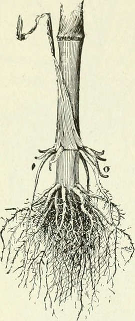 Key Difference - Taproot vs Adventitious Root