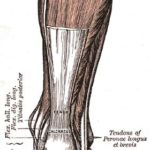 Difference Between Tendon and Aponeurosis