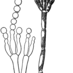 Difference Between Zoospore and Conidia