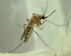 Aedes Anopheles and Culex Mosquitoes