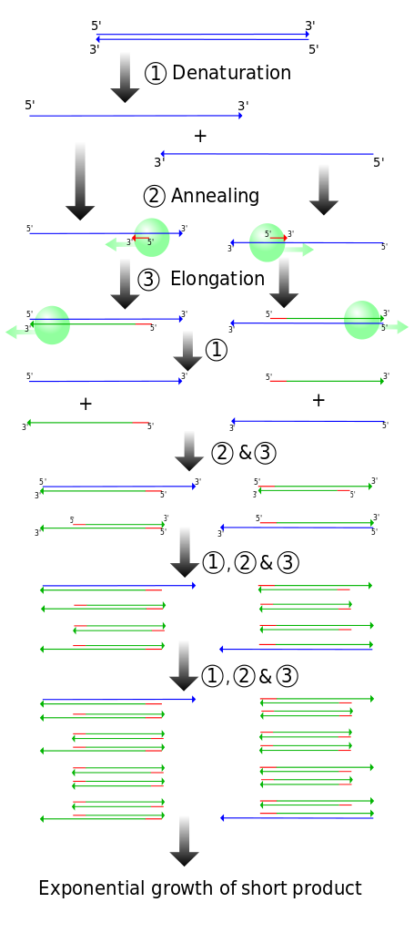 Difference Between Gene Amplification and Gene Cloning