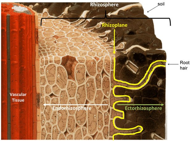 Key Difference - Rhizosphere vs Phyllosphere