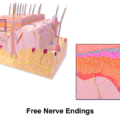 Difference Between Free Nerve Endings and Encapsulated