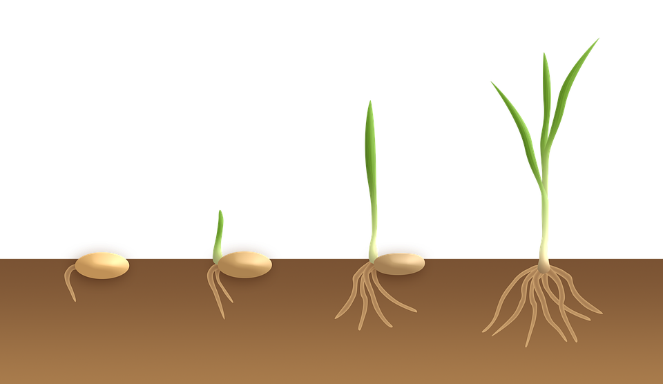 Difference Between Germination and Emergence