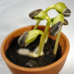Difference Between Germination and Vivipary