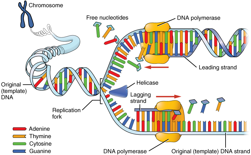 Key Difference - Helicase vs Topoisomerase