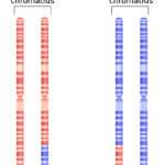 Difference Between Homologous and Homeologous Chromosomes