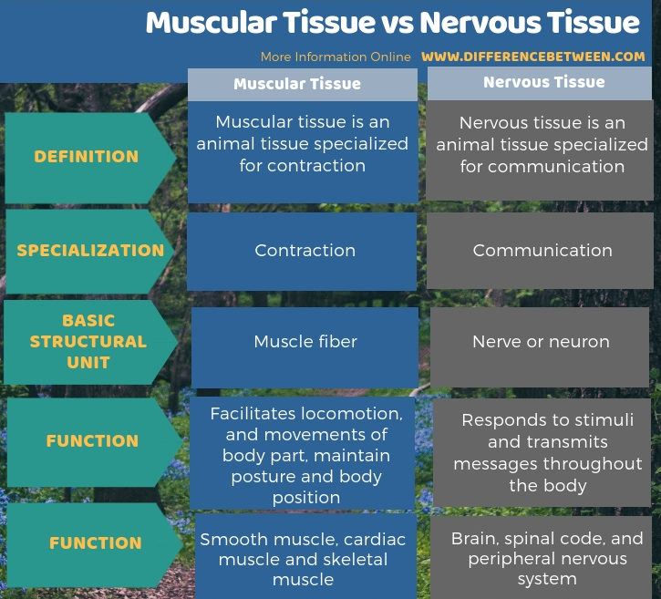 Difference Between Muscular Tissue and Nervous Tissue in Tabular Form
