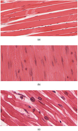 Difference Between Muscular Tissue and Nervous Tissue