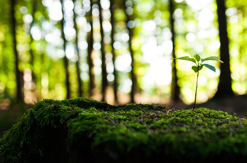 Difference Between Sapling and Seedling